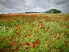 poppies-west-pomeranian-district