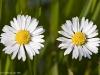 Twin Daisy